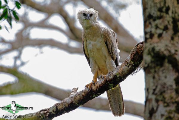 Ecuadorian Amazon birding