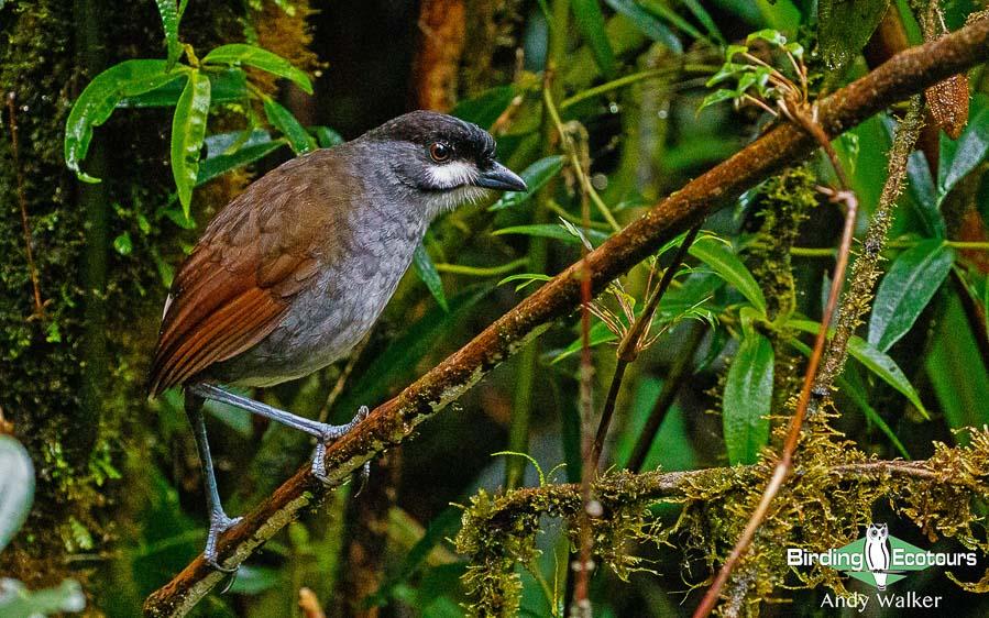 Southern Ecuador birding