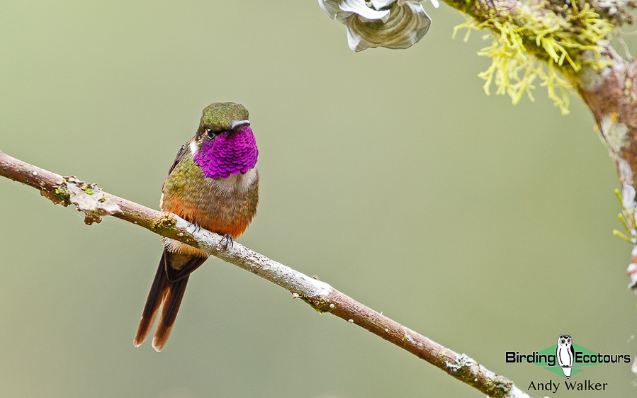 northern-ecuador-birding