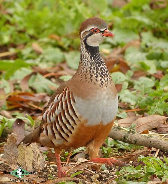 common UK farmland birds