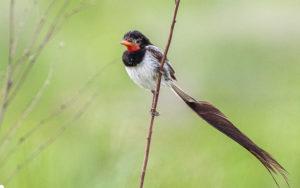 Paraguay birding tours
