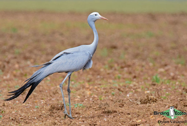 French list of birds of South Africa